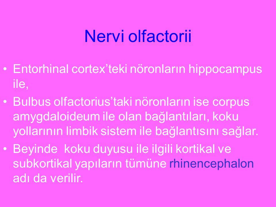 Nervi olfactorii Entorhinal cortex'teki nöronların hippocampus ile, Bulbus olfactorius'taki nöronların ise corpus amygdaloideum ile olan bağlantıları,