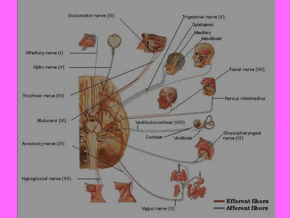 N.abducens Buradan çıkan lifler sulcus bulbopontinus'ta beyin sapını terk ettikten sonra pons'un ön yüzündeki cisterna pontis içerisinde ve a.inferior anterior cerebelli'nin arkasında, yukarıya doğru ilerler.