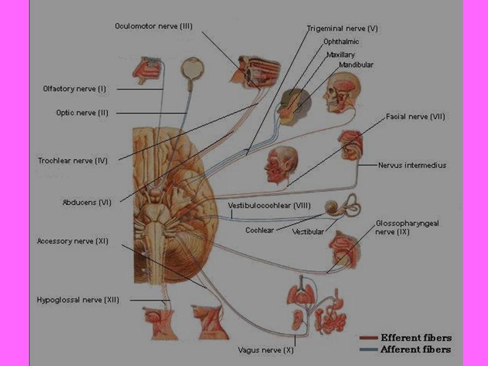 Kranyal sinirler I, II, ve VIII.kranyal sinirler saf duyu, III, IV,VI ve XII.