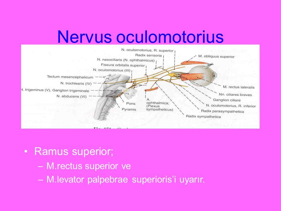 Nervus oculomotorius Ramus superior; –M.rectus superior ve –M.levator palpebrae superioris'i uyarır.