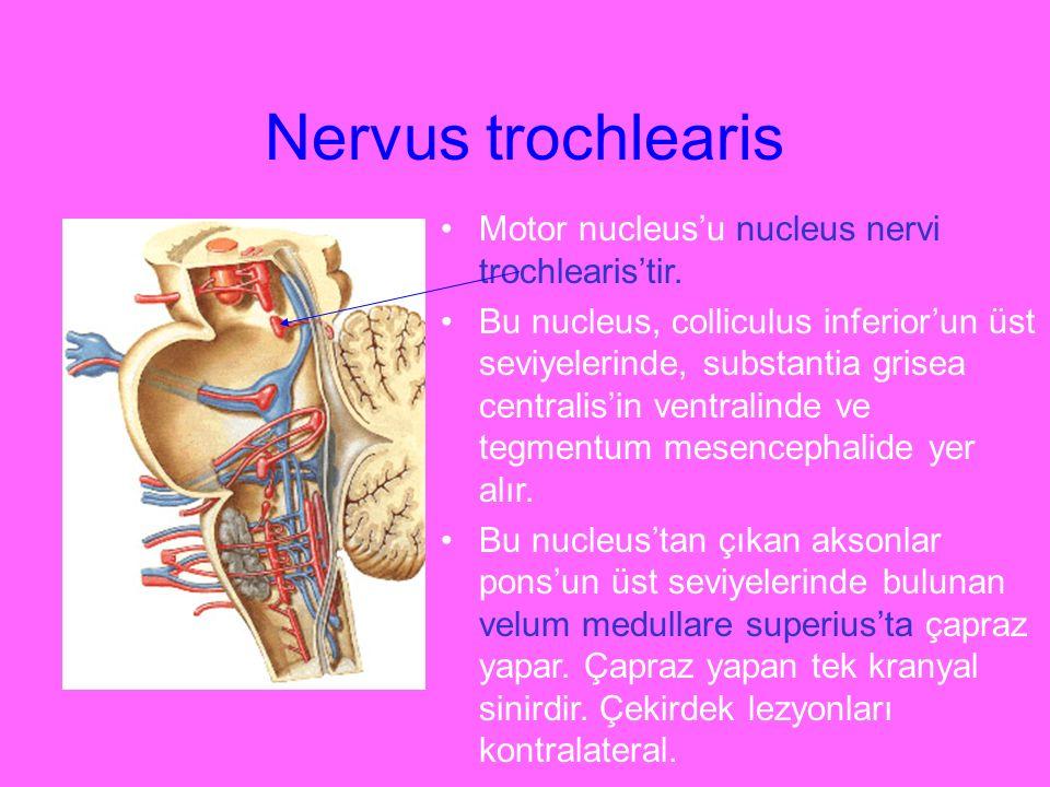 Nervus trochlearis Motor nucleus'u nucleus nervi trochlearis'tir. Bu nucleus, colliculus inferior'un üst seviyelerinde, substantia grisea centralis'in