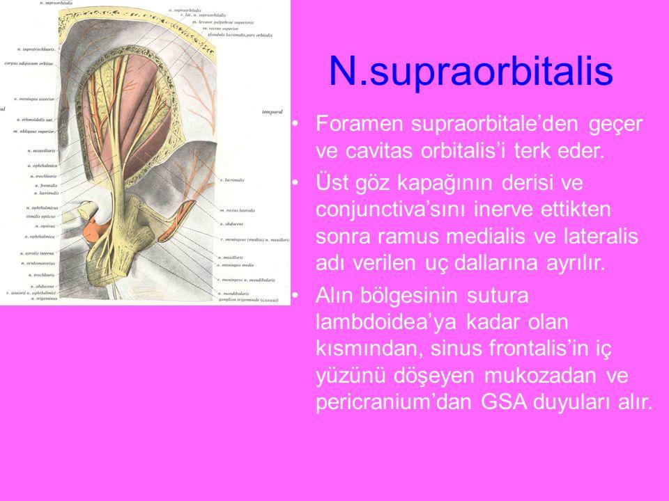 N.supraorbitalis Foramen supraorbitale'den geçer ve cavitas orbitalis'i terk eder. Üst göz kapağının derisi ve conjunctiva'sını inerve ettikten sonra