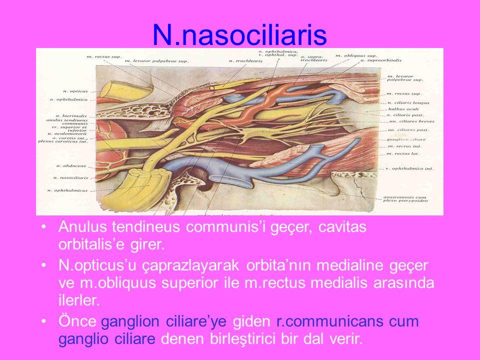 N.nasociliaris Anulus tendineus communis'i geçer, cavitas orbitalis'e girer. N.opticus'u çaprazlayarak orbita'nın medialine geçer ve m.obliquus superi