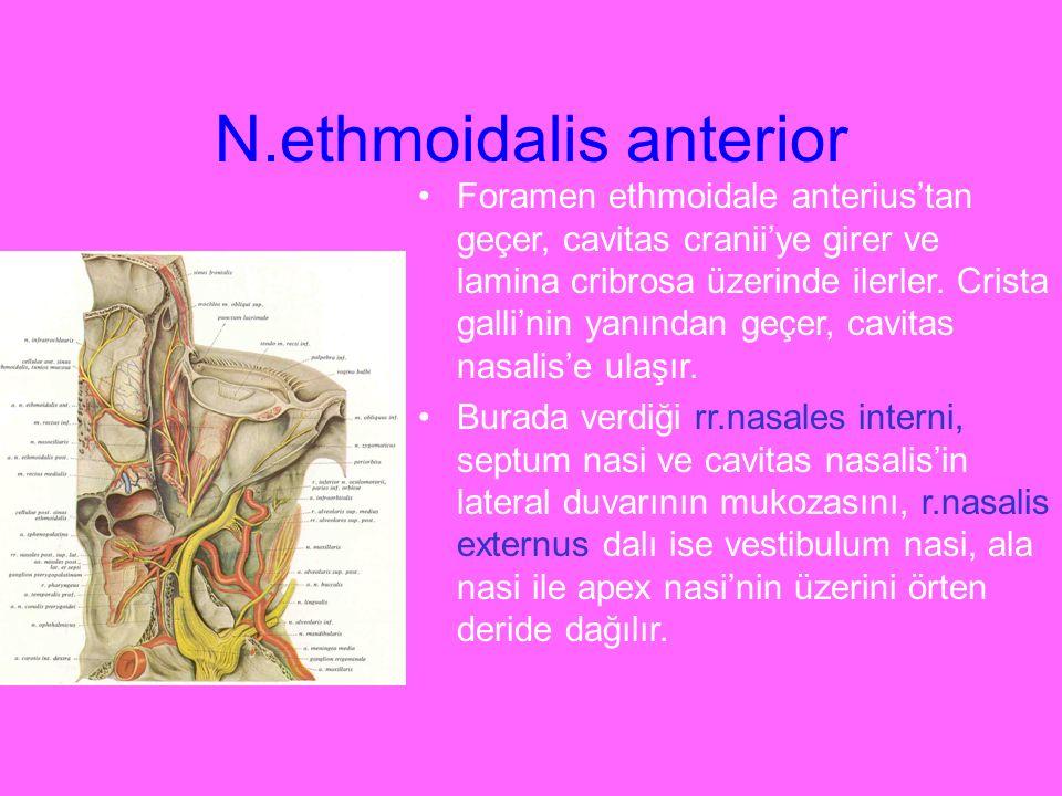 N.ethmoidalis anterior Foramen ethmoidale anterius'tan geçer, cavitas cranii'ye girer ve lamina cribrosa üzerinde ilerler. Crista galli'nin yanından g
