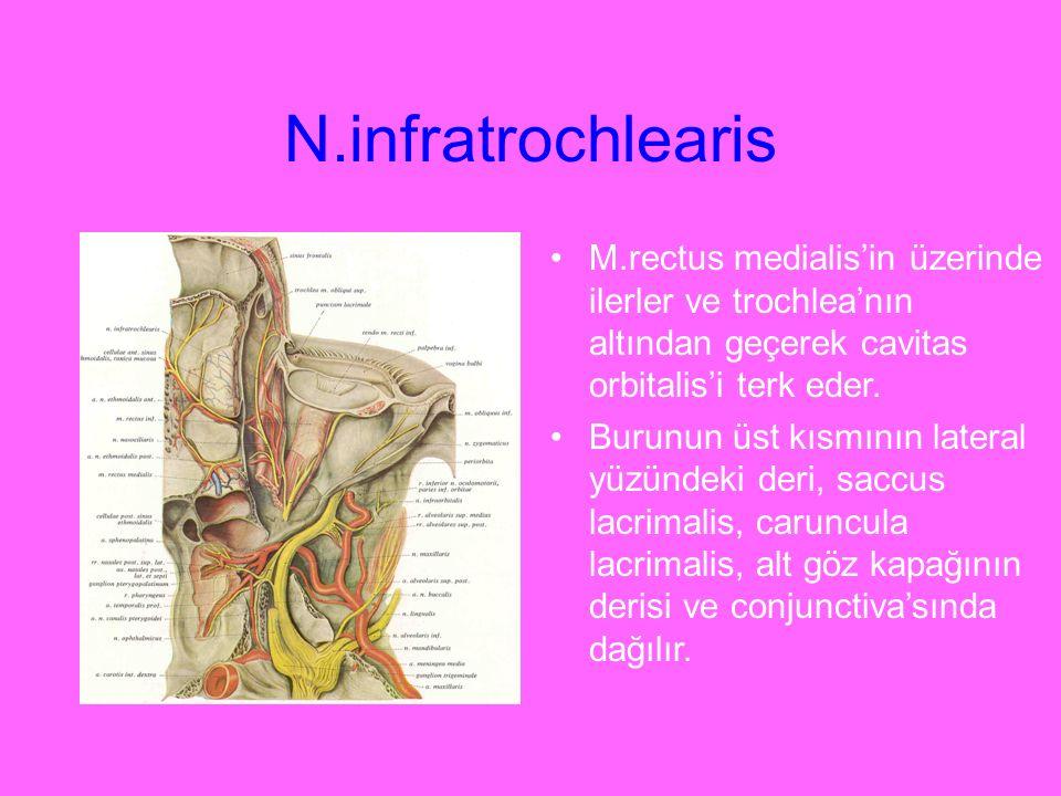 N.infratrochlearis M.rectus medialis'in üzerinde ilerler ve trochlea'nın altından geçerek cavitas orbitalis'i terk eder. Burunun üst kısmının lateral