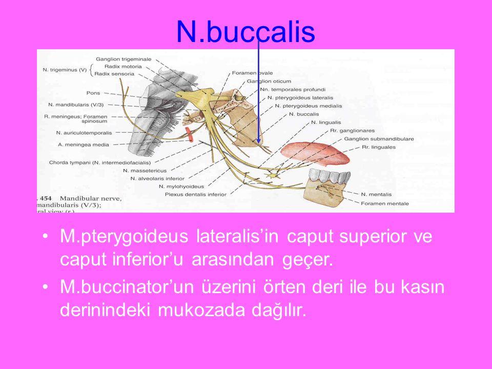 N.buccalis M.pterygoideus lateralis'in caput superior ve caput inferior'u arasından geçer. M.buccinator'un üzerini örten deri ile bu kasın derinindeki
