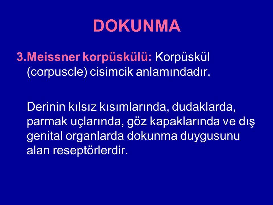 DOKUNMA 3.Meissner korpüskülü: Korpüskül (corpuscle) cisimcik anlamındadır.