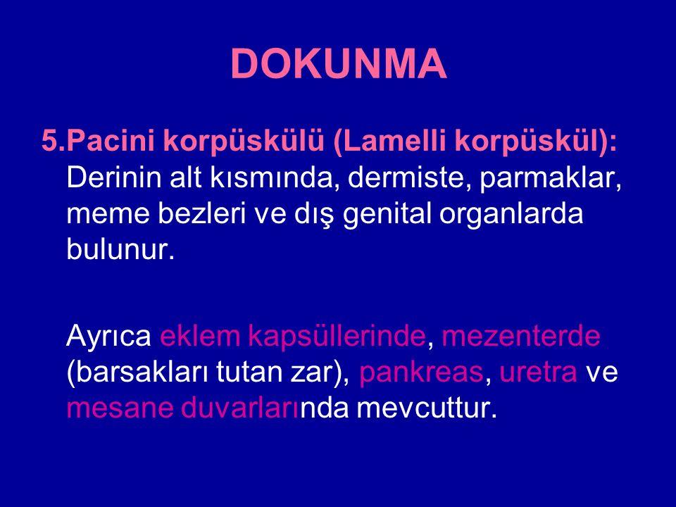 DOKUNMA 5.Pacini korpüskülü (Lamelli korpüskül): Derinin alt kısmında, dermiste, parmaklar, meme bezleri ve dış genital organlarda bulunur.