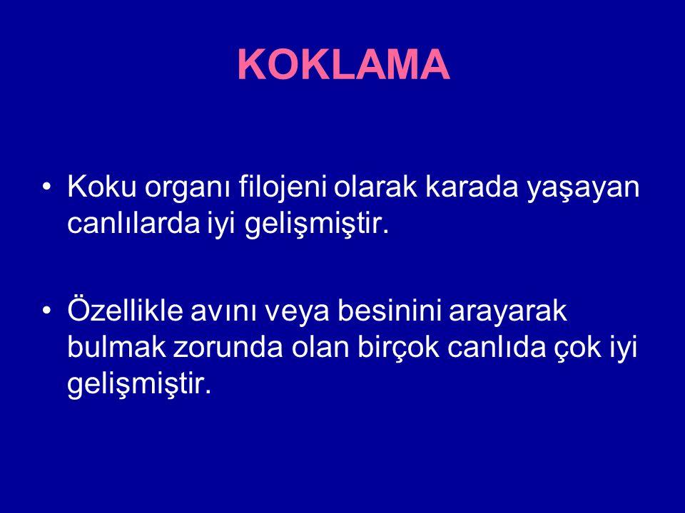 KOKLAMA Koku organı filojeni olarak karada yaşayan canlılarda iyi gelişmiştir.