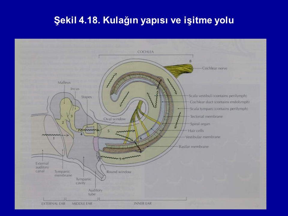 Şekil 4.18. Kulağın yapısı ve işitme yolu
