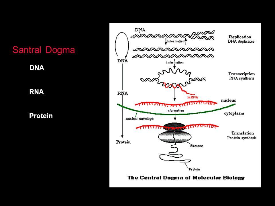 Santral Dogma DNA RNA Protein