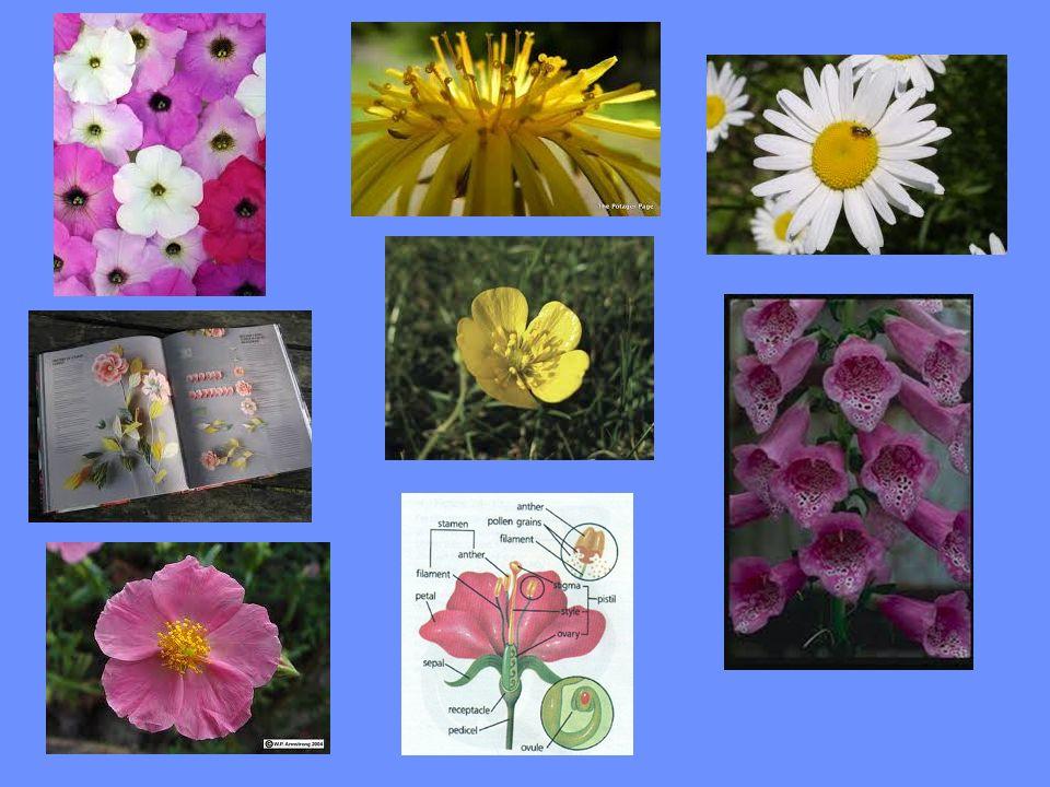 Çiçek, Angiospermlerin eşeysel üreme organıdır.