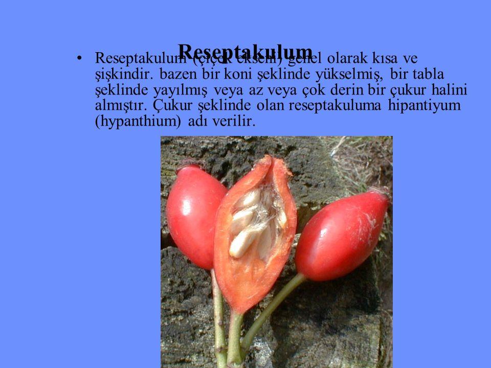 Reseptakulum Reseptakulum (çiçek ekseni) genel olarak kısa ve şişkindir. bazen bir koni şeklinde yükselmiş, bir tabla şeklinde yayılmış veya az veya ç