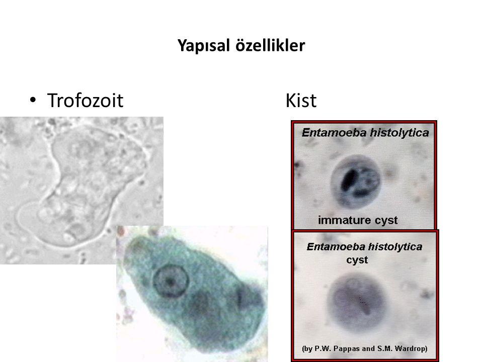 Trofozoid form mikroskop altında incelendiğinde, psödopodlar çıkararak yer değiştirdiği görülür – Hareketi yavaştır.