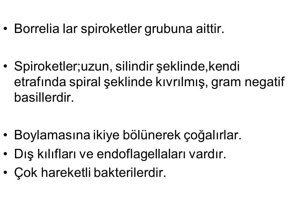 Borrelia lar spiroketler grubuna aittir. Spiroketler;uzun, silindir şeklinde,kendi etrafında spiral şeklinde kıvrılmış, gram negatif basillerdir. Boyl