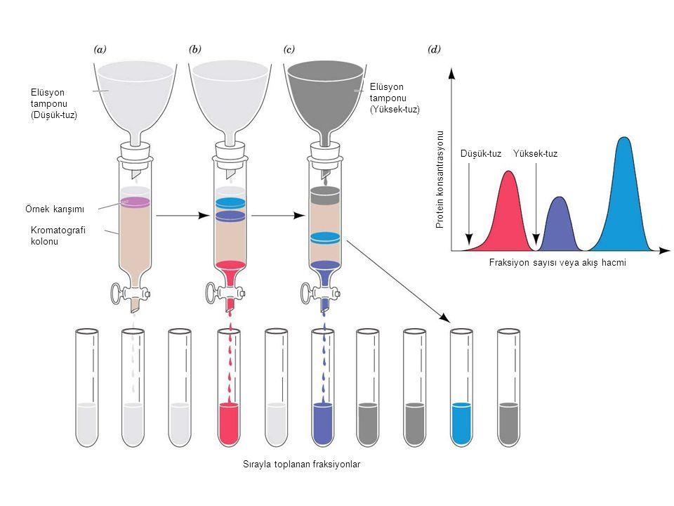 Elüsyon tamponu (Düşük-tuz) Elüsyon tamponu (Yüksek-tuz) Örnek karışımı Kromatografi kolonu Sırayla toplanan fraksiyonlar Fraksiyon sayısı veya akış hacmi Protein konsantrasyonu Yüksek-tuzDüşük-tuz