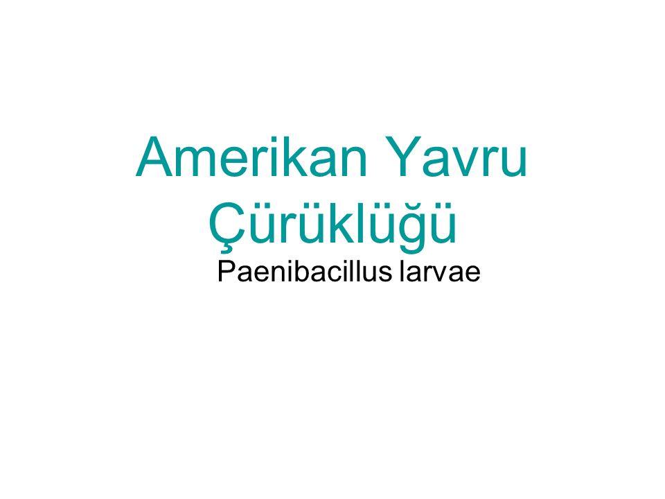 Amerikan Yavru Çürüklüğü Paenibacillus larvae