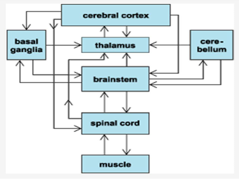 Bazal Ganglionlarda Nörotransmiterler/Nöromodülatörler  GABA  inhibitör  Glutamat  eksitatör  Dopamin  D1 reseptörler  eksitatör D2 reseptörler  inhibitör  Asetilkolin  modülatör Eksitatör ya da inhibitör değildir Uyarılabilirliği değiştirir