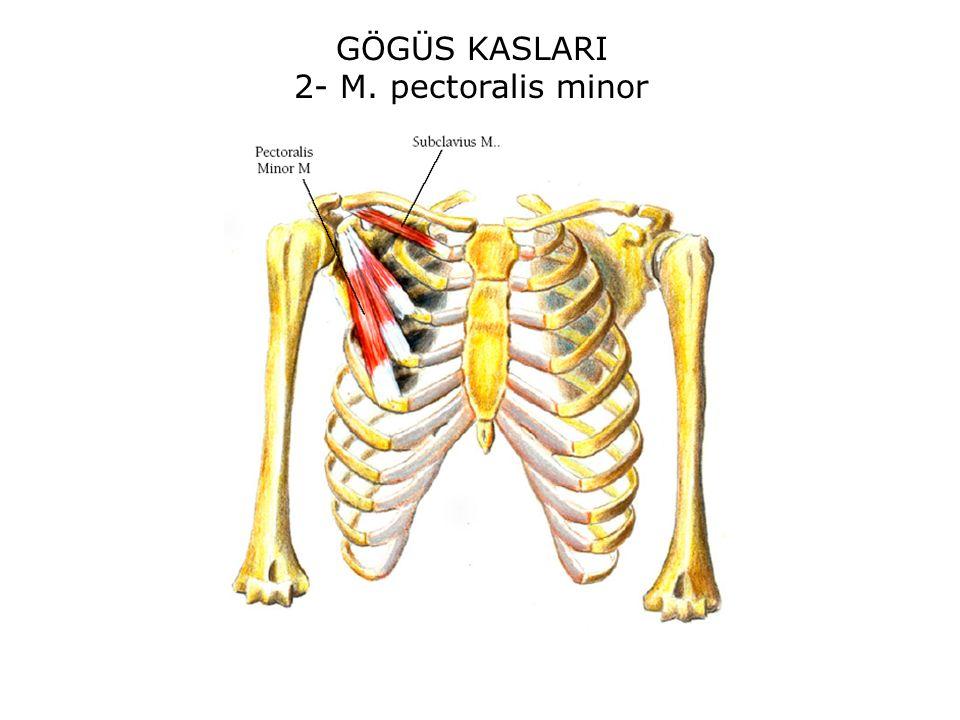 GÖGÜS KASLARI 2- M. pectoralis minor