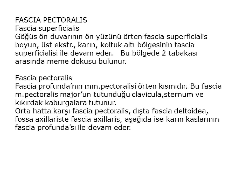 FASCIA PECTORALIS Fascia superficialis Göğüs ön duvarının ön yüzünü örten fascia superficialis boyun, üst ekstr., karın, koltuk altı bölgesinin fascia superficialisi ile devam eder.