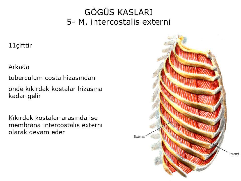 GÖGÜS KASLARI 5- M.