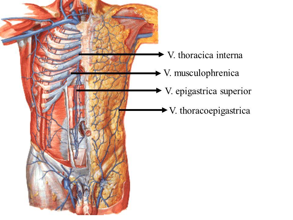 V. thoracoepigastrica V. epigastrica superior V. musculophrenica V. thoracica interna