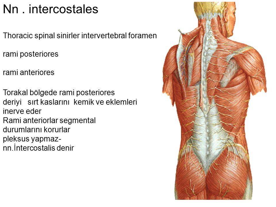 Nn. intercostales Thoracic spinal sinirler intervertebral foramen rami posteriores rami anteriores Torakal bölgede rami posteriores deriyi sırt kaslar