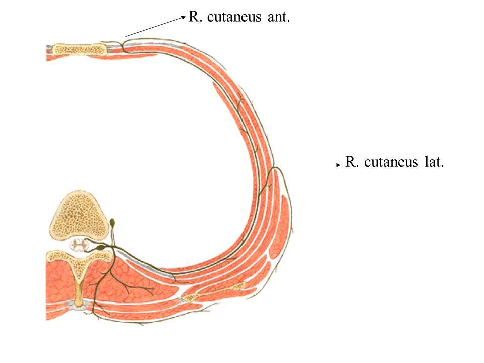 R. cutaneus ant. R. cutaneus lat.