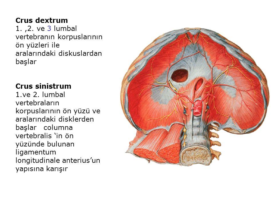 Crus dextrum 1.,2.
