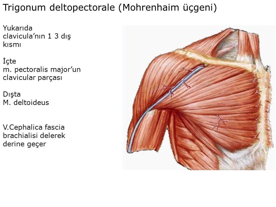 Trigonum deltopectorale (Mohrenhaim üçgeni) Yukarıda clavicula'nın 1 3 dış kısmı İçte m.