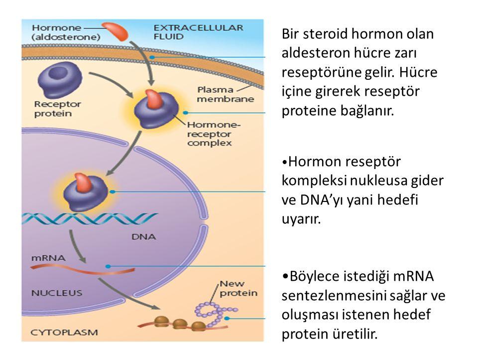 Bir steroid hormon olan aldesteron hücre zarı reseptörüne gelir. Hücre içine girerek reseptör proteine bağlanır. Hormon reseptör kompleksi nukleusa gi