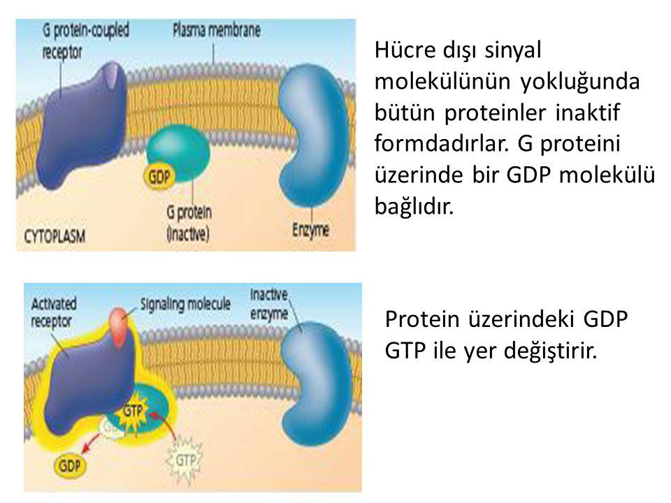 Hücre dışı sinyal molekülünün yokluğunda bütün proteinler inaktif formdadırlar. G proteini üzerinde bir GDP molekülü bağlıdır. Protein üzerindeki GDP