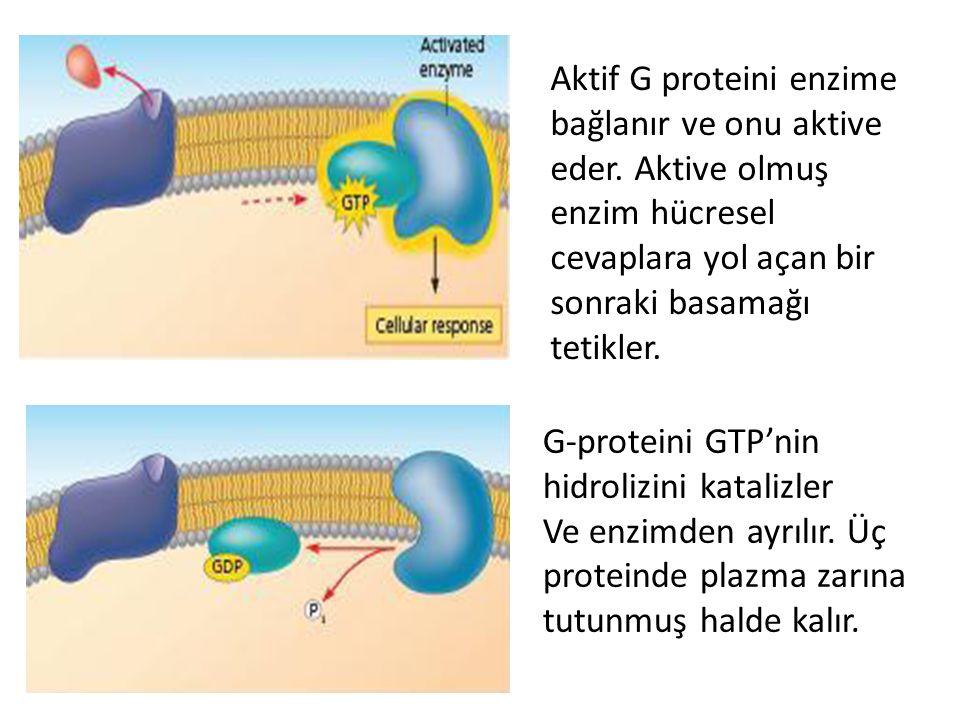 Aktif G proteini enzime bağlanır ve onu aktive eder. Aktive olmuş enzim hücresel cevaplara yol açan bir sonraki basamağı tetikler. G-proteini GTP'nin