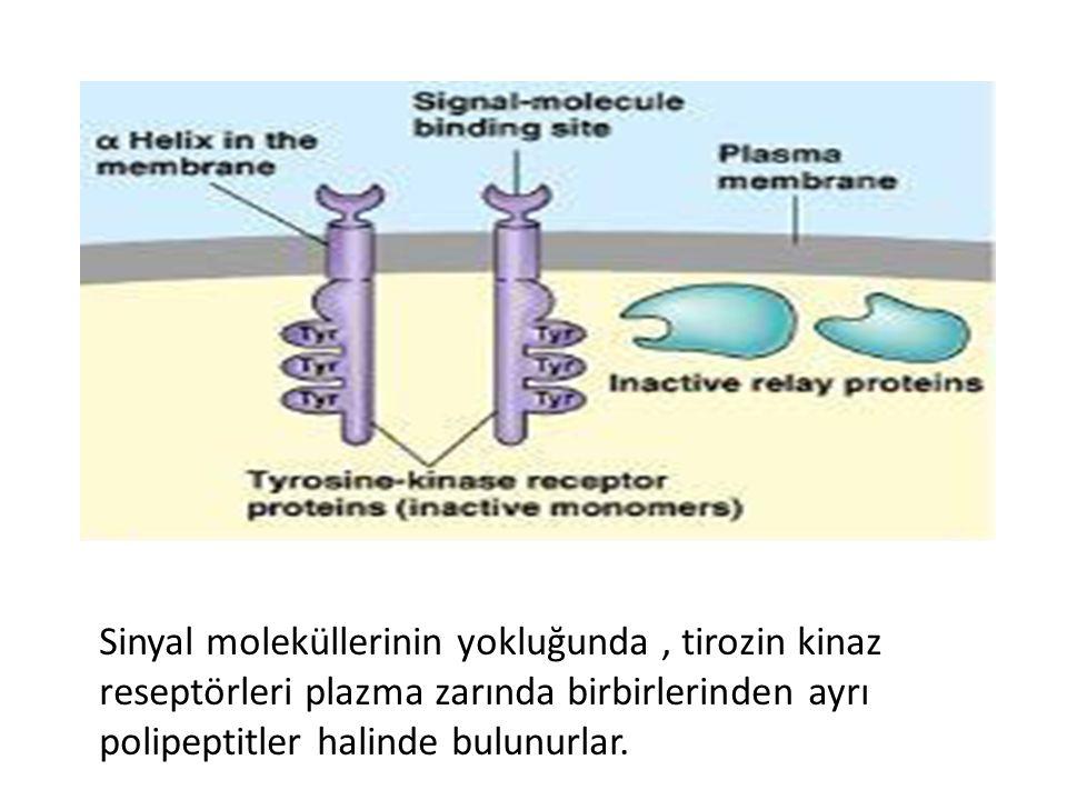 Sinyal moleküllerinin yokluğunda, tirozin kinaz reseptörleri plazma zarında birbirlerinden ayrı polipeptitler halinde bulunurlar.