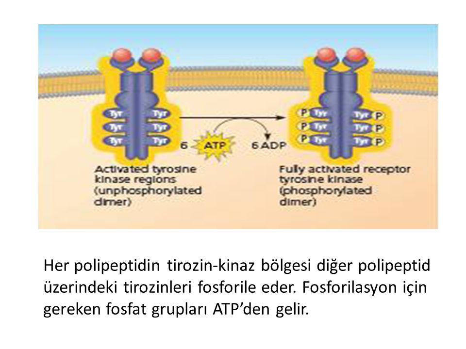 Her polipeptidin tirozin-kinaz bölgesi diğer polipeptid üzerindeki tirozinleri fosforile eder. Fosforilasyon için gereken fosfat grupları ATP'den geli