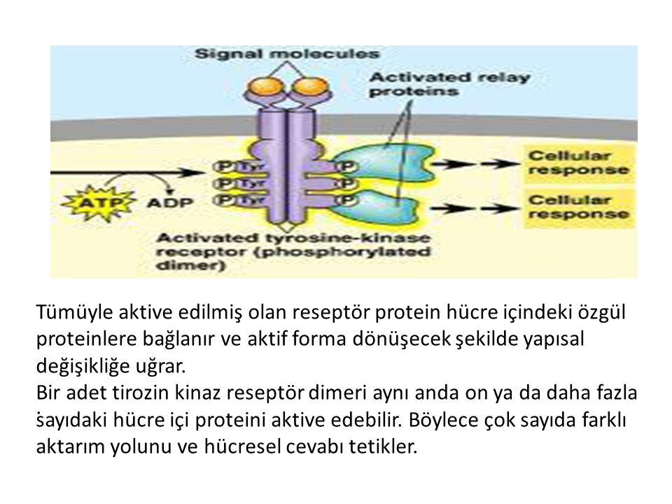 . Tümüyle aktive edilmiş olan reseptör protein hücre içindeki özgül proteinlere bağlanır ve aktif forma dönüşecek şekilde yapısal değişikliğe uğrar. B