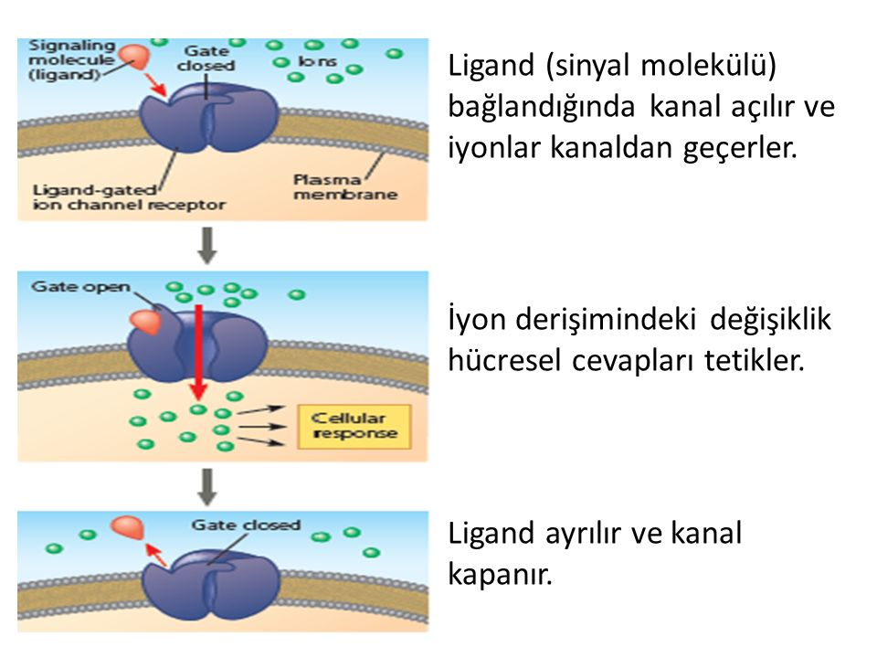 Ligand (sinyal molekülü) bağlandığında kanal açılır ve iyonlar kanaldan geçerler. İyon derişimindeki değişiklik hücresel cevapları tetikler. Ligand ay