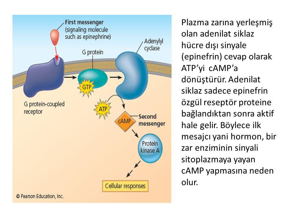 Plazma zarına yerleşmiş olan adenilat siklaz hücre dışı sinyale (epinefrin) cevap olarak ATP'yi cAMP'a dönüştürür. Adenilat siklaz sadece epinefrin öz