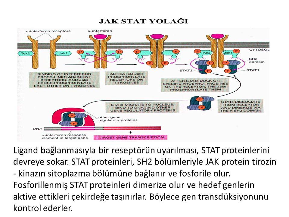 Ligand bağlanmasıyla bir reseptörün uyarılması, STAT proteinlerini devreye sokar. STAT proteinleri, SH2 bölümleriyle JAK protein tirozin - kinazın sit