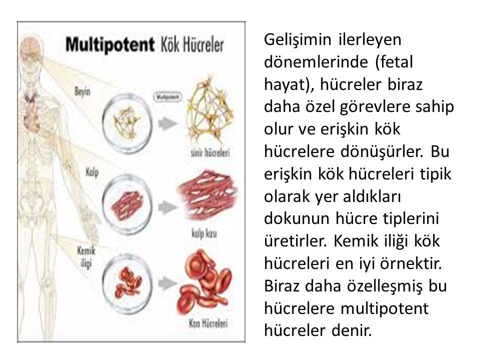 Gelişimin ilerleyen dönemlerinde (fetal hayat), hücreler biraz daha özel görevlere sahip olur ve erişkin kök hücrelere dönüşürler. Bu erişkin kök hücr