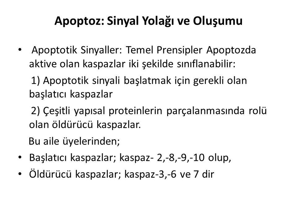 Apoptoz: Sinyal Yolağı ve Oluşumu Apoptotik Sinyaller: Temel Prensipler Apoptozda aktive olan kaspazlar iki şekilde sınıflanabilir: 1) Apoptotik sinya
