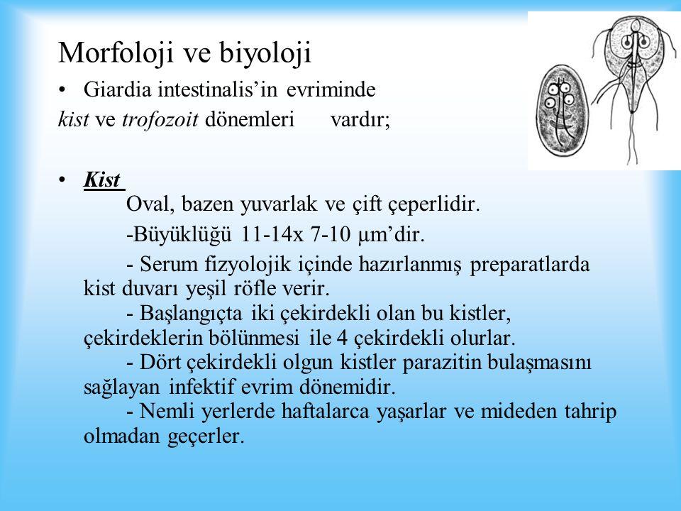 Morfoloji ve biyoloji Giardia intestinalis'in evriminde kist ve trofozoit dönemleri vardır; Kist Oval, bazen yuvarlak ve çift çeperlidir.