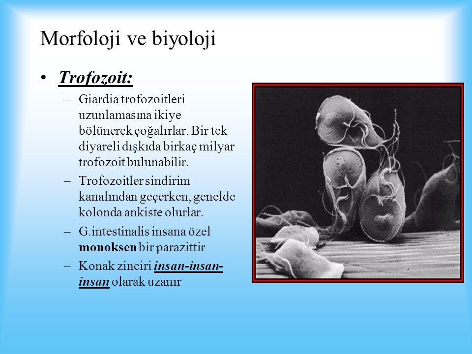 Morfoloji ve biyoloji Trofozoit: –Giardia trofozoitleri uzunlamasına ikiye bölünerek çoğalırlar.