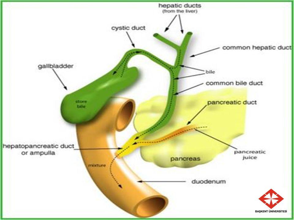 Safra daha sonra,interlobüler bölmelere doğru akar ve terminal safra kanallarına dökülür.Daha sonra giderek daha büyük kanallara dökülerek sonunda hep