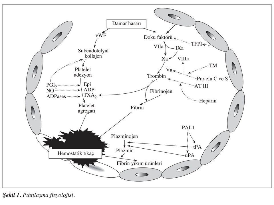 TROMBOSİTOZ Trombosit sayısının >500,000/mm3 üstü –İnflamatuar reaksiyonlar, maligniteler, polistemi ve postsplenektomi Bozulmuş trombosit fonksiyonu olan trombositozlar; kanama veya tromembolik olaylarla ile ilişkili olabilirler Haricen trombosit sayısının 1 milyon/mm3 aşmasında bile bu durumlar nadirdir
