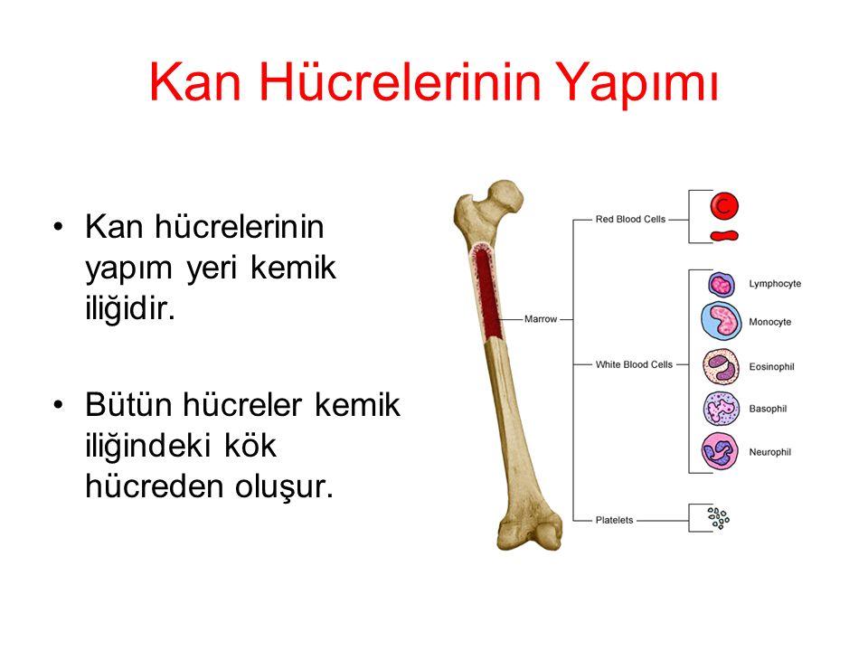 Granülositler Nötrofil: İnsan kanında en fazla bulunan lökositlerdir.
