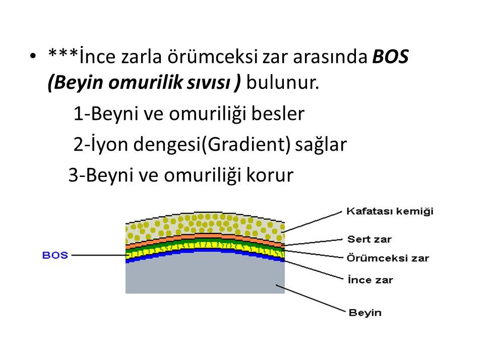 ***İnce zarla örümceksi zar arasında BOS (Beyin omurilik sıvısı ) bulunur.