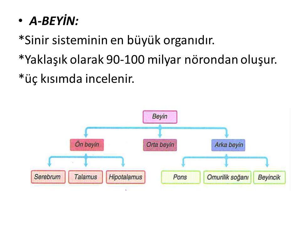 A-BEYİN: *Sinir sisteminin en büyük organıdır. *Yaklaşık olarak 90-100 milyar nörondan oluşur.