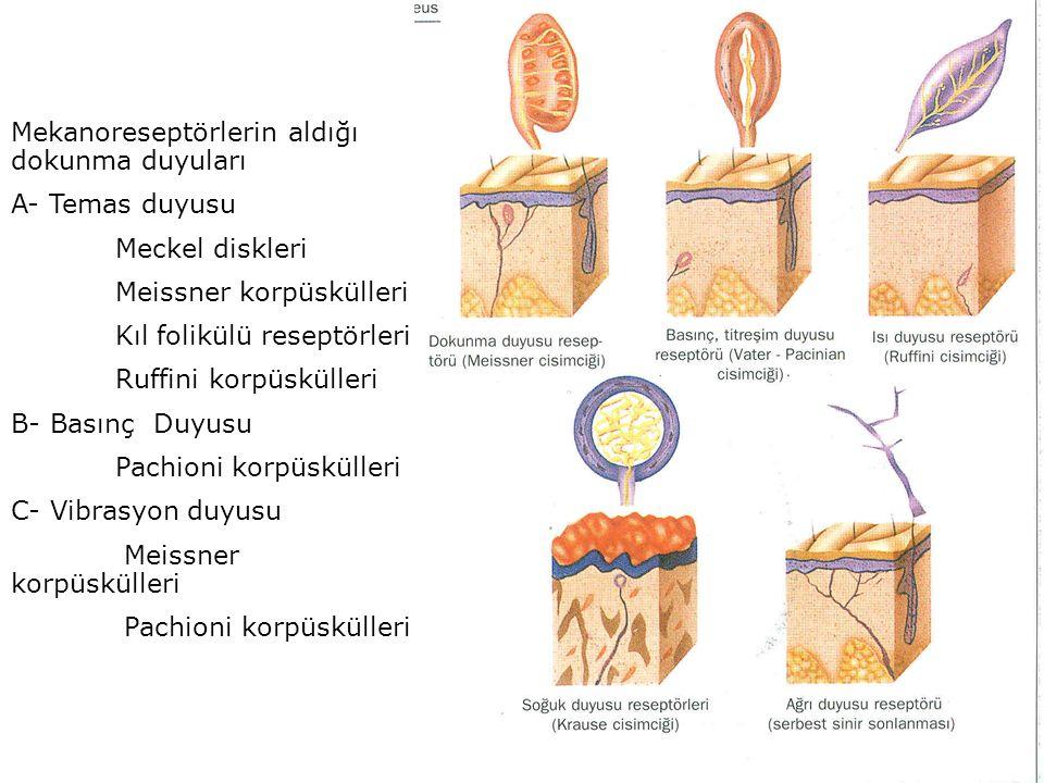 Mekanoreseptörlerin aldığı dokunma duyuları A- Temas duyusu Meckel diskleri Meissner korpüskülleri Kıl folikülü reseptörleri Ruffini korpüskülleri B- Basınç Duyusu Pachioni korpüskülleri C- Vibrasyon duyusu Meissner korpüskülleri Pachioni korpüskülleri
