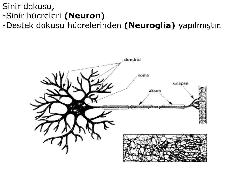 Sinir dokusu, -Sinir hücreleri (Neuron) -Destek dokusu hücrelerinden (Neuroglia) yapılmıştır.
